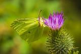 Common brimstone butterfly gonepteryx rhamni pollinating feeding eating