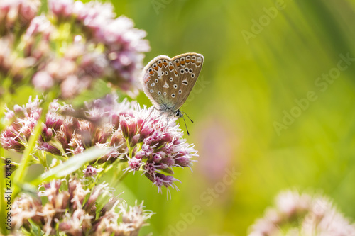 Foto Murales Female Common Blue butterfly Polyommatus icarus pollinating closeup