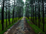 pine forest with tall trees and green grass, Cool Tone - 227819891