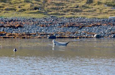 seals in hvammstangi, north iceland