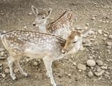 Deer in park - 227826236