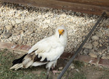 Raptor wild eagle - 227826276