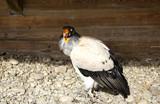 Raptor wild eagle - 227826290