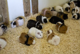 Guinea pigs on farm - 227826292