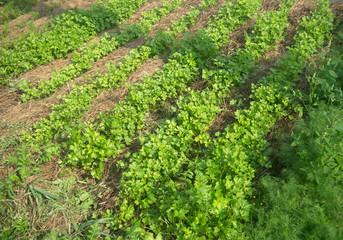 edible greens in the garden