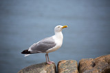 Seagull stand on a rock, head up