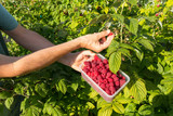 Person with a container full of raspberries after picking fruit from a bush