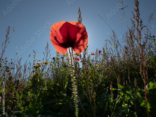 red poppy in front of sun and very nice flower field - 227832264