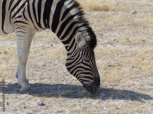 Zebra Namibua - 227832659
