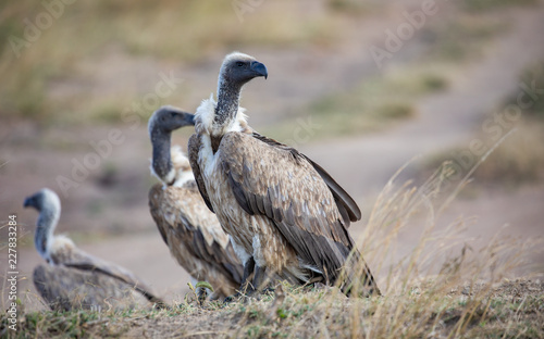 Trio of Ruppell's Griffon Vulatires, Gyps rueppellii, in selective focus with long grass in foreground