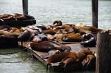 Des lions de mer sur la jetée n°39 à San Francisco (USA) - 227834885