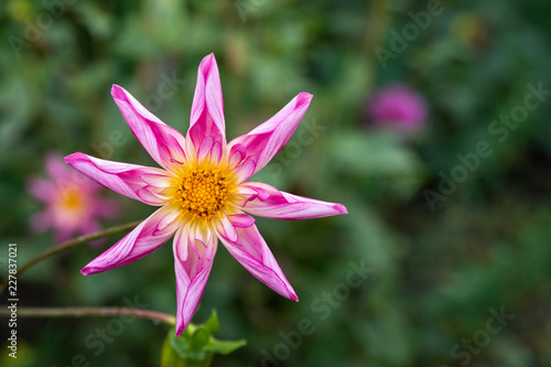 Portrait of a pink dahlia with green leaves and pink dahlias blurred in the background