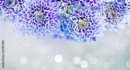 fresh blue chrysanthemum flowers border on gray background banner with light beams - 227837483