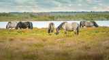Wild horses eating grass in preserved territory of Engure national park in Latvia. Landscape with lake and meadow with grass and bouldes in warm lighting.