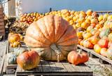 one main biggest vegitable in front of diferent pumpkins - 227852287