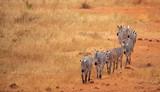 walking zebra in a line