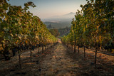 Rows of ripe wine grapes ready for harvest at a hillside vineyard in southern oregon