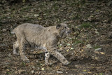 Bobcat walking through a clearing with Fall leaves on the ground