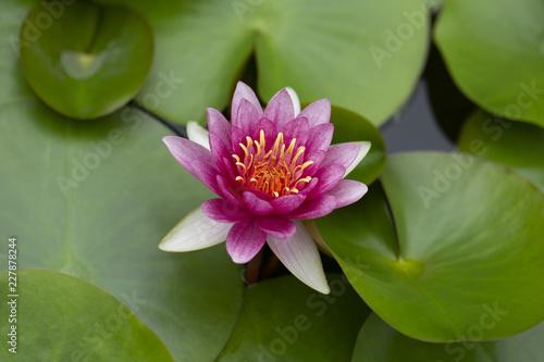 Foto Murales pink water lily or lotus in pond