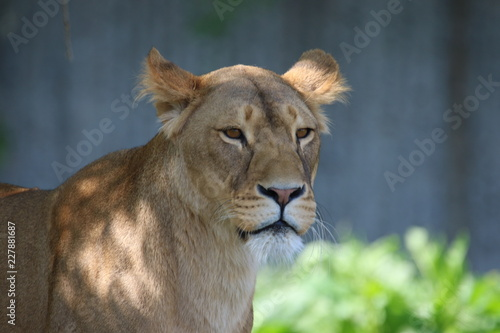 Poster portrait of a lion