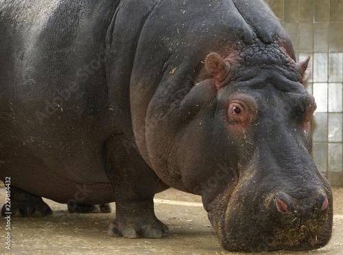 Naklejka The hippopotamus (Hippopotamus amphibius), Barcelona Zoo