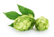 Quadro Hops and hop leaf isolated on white background.