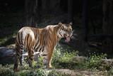 Indochinese tiger (Panthera tigris corbetti).