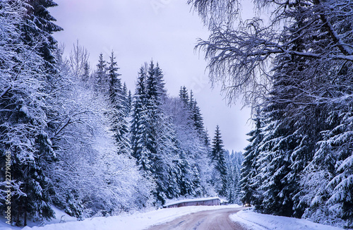 Foto Murales Christmas winter landscape, spruce and pine trees covered in snow on a mountain road