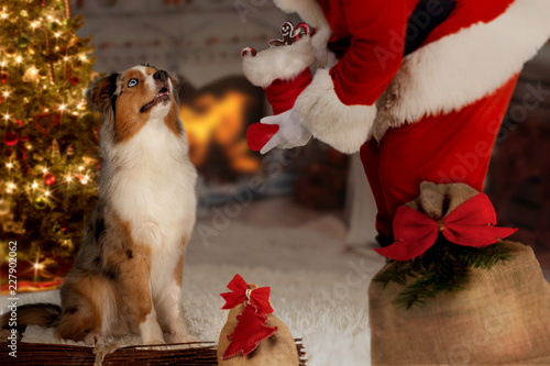 Leinwandbild Motiv Dog; Australian Shepherd with Santa Claus