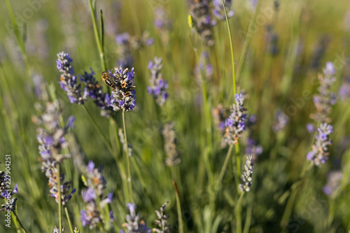 Lavender in a Field on a Sunny Day - 227904251
