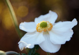 white flower of a japanese anemone (Anemone hupehensis) against a dark background with copy space, close up - 227915620