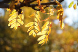 golden autumn leaves of the mountain ash, blurred background with copy space - 227921004