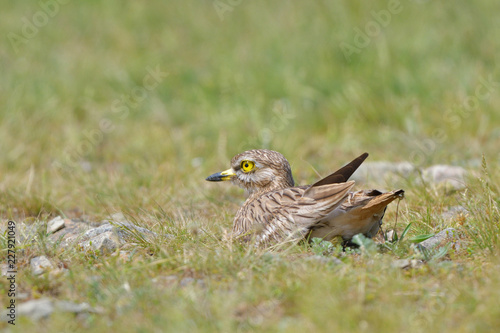 stone curlew on a steppe habitat