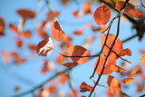 red autumn leaves of a shadbush (Amelanchier) against the blue sky, selected focus, narrow depth of field - 227921496