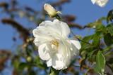 weiße Rose vor blauem himmel