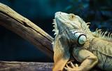 Green iguana climbing on a branch, close-up