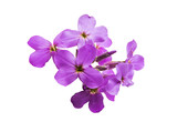 small lilac flowers isolated - 227934624