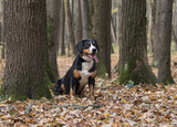 Dog sitting on yellow leaves in the Autumn Forest