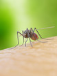 3d rendered illustration of a mosquito bitiing a human