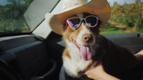 The dog travels with the owner in the car. The pet is wearing sunglasses - 227964235
