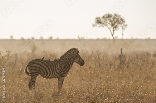 Plains zebra in Kruger National park, South Africa; Specie Equus quagga burchellii family of Equidae - 227974899