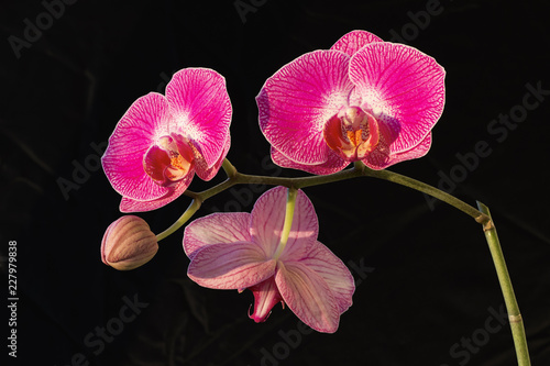 Purple orchid flowers (Phalaenopsis) on black background on a sunny day - 227979838