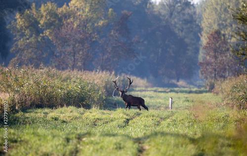 Leinwanddruck Bild Red deer roaring in forest