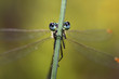 Dragonfly eyes behind the grass stalk look fascinating.
