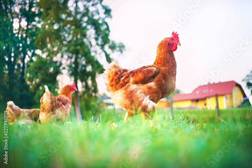chickens walk free around the farmyard in the meadow - 227996809