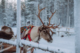 Reindeer at the Santa Claus village in Lapland - 228012023