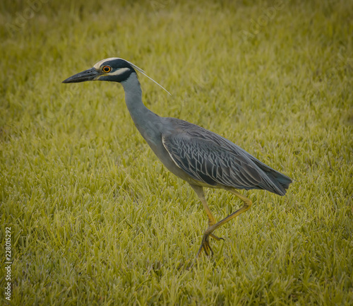 Foto Murales Yellow Crowned Night Heron