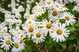 Annual Daisy Fleabane Flowers