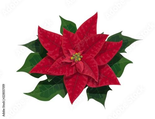 Wall mural Poinsettia flower of Christmas holidays