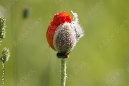 A poppy just coming out of the bud - 228044063